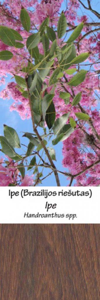 Brazilijos riešutas | Adomo medis
